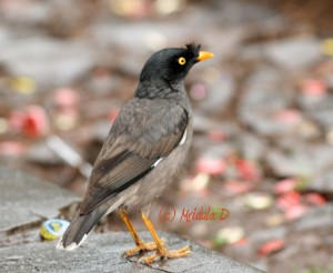 how to get rid of indian myna birds south africa