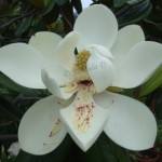 Friday Flower- Beautiful White Flower, Magnolia