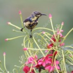 Lazy Sunday Photo- Another Purple Sunbird in Eclipse Plumage