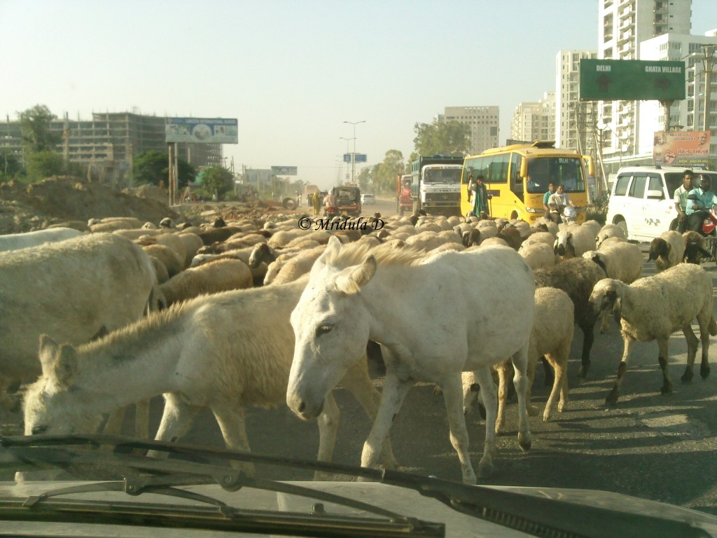 Sheep and Donkeys on Gurgaon Road