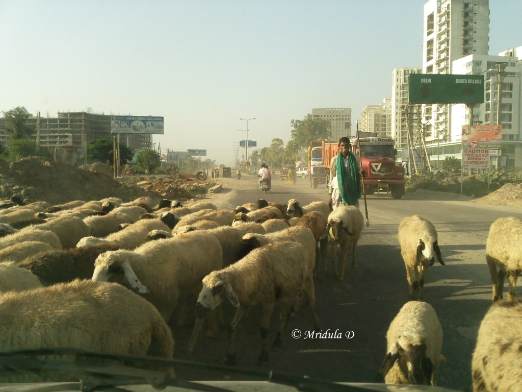 Sheep on the Gurgaon roads traffic stoppers