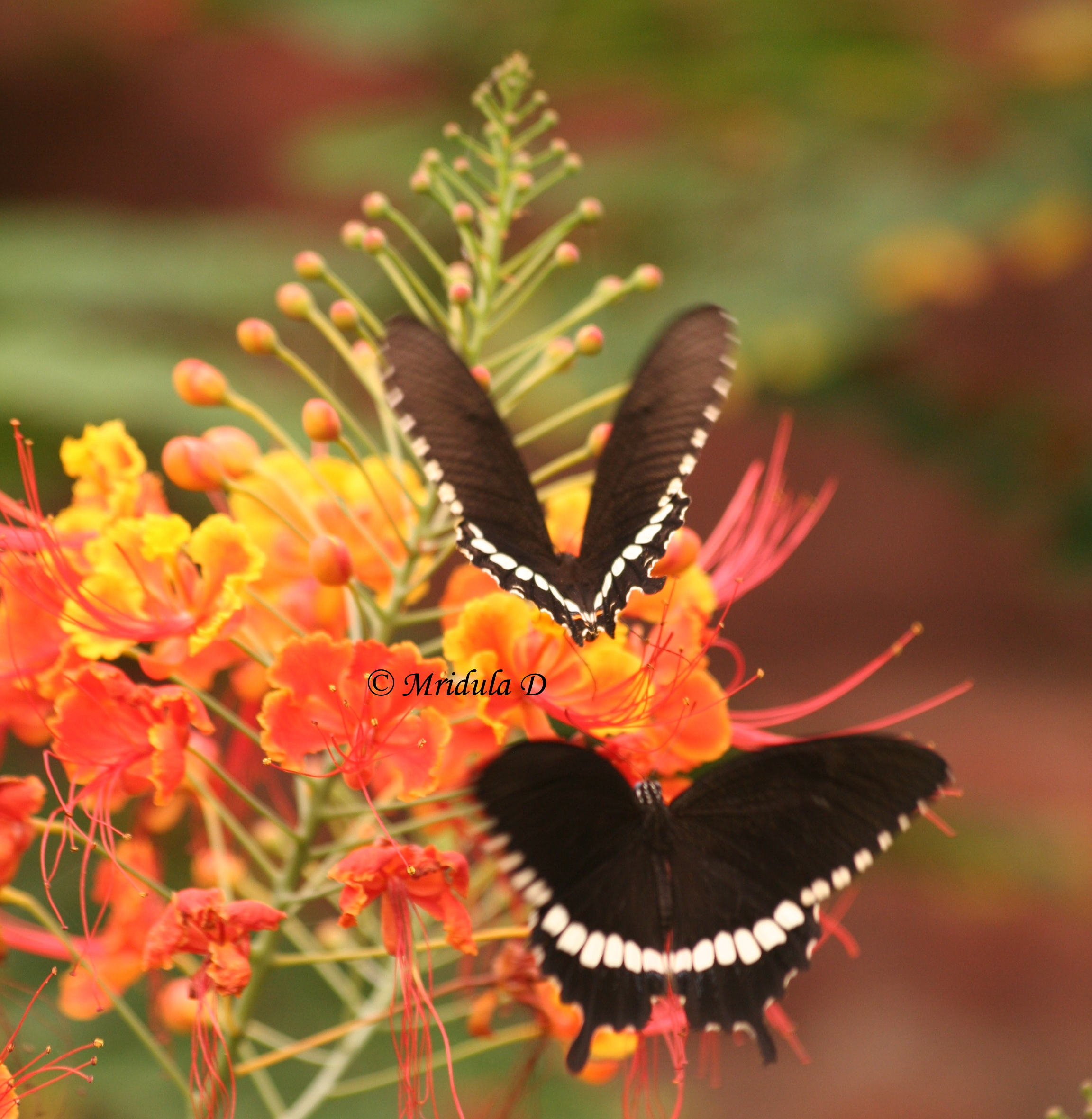 friday flowers ok i am showing off my butterflies with the