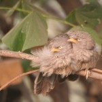 Lazy Sunday Photo- A Cute Pair of Jungle Babblers