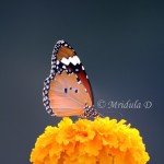 Friday Flowers- A Butterfly on a Marigold