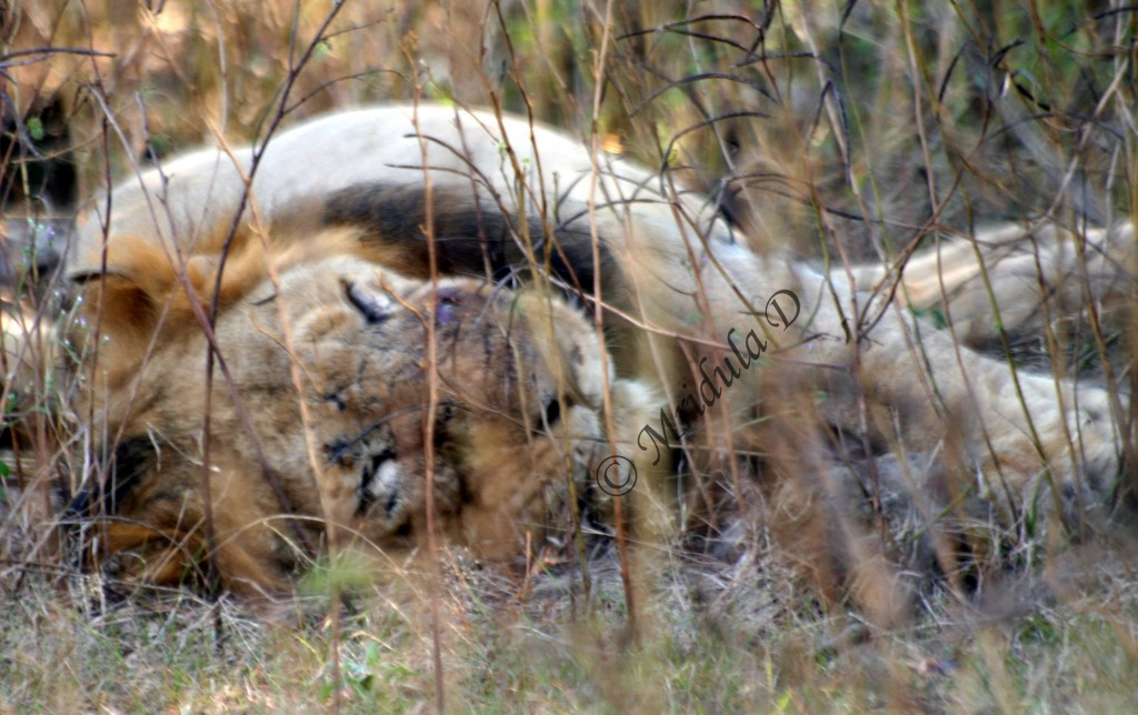 A Sleeping Lion at Gir