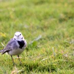 Lazy Sunday Photo- A White Wag Tail
