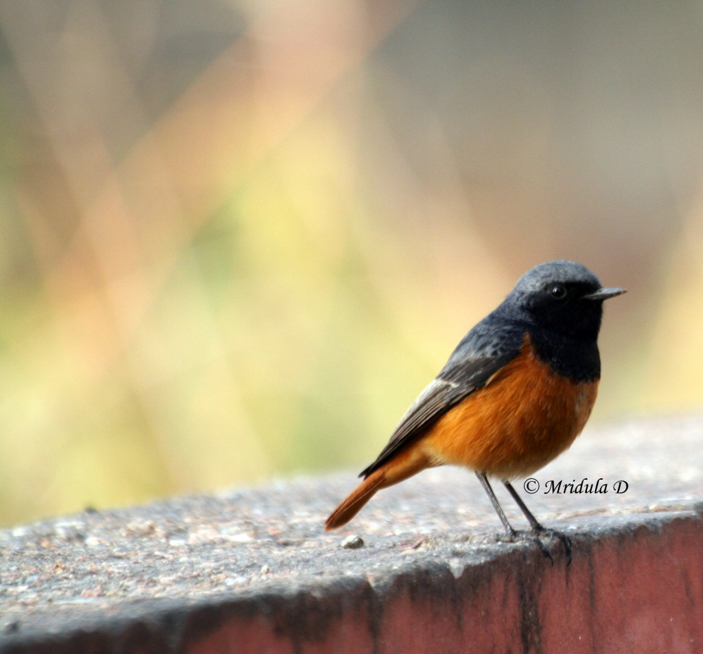 Black Redstart Bird, Gurgaon, India