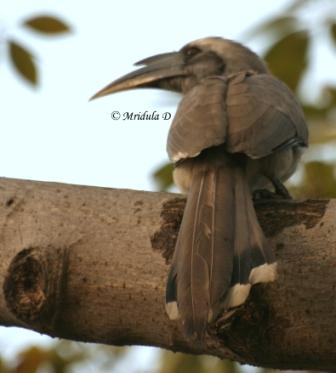 Indian Grey Hornbill Bird
