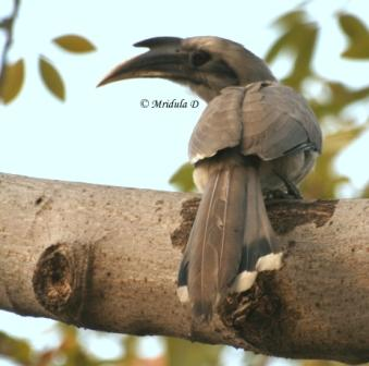 Indian Grey Hornbill, Gurgaon