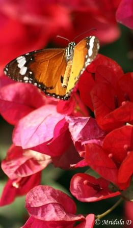 Plain Tiger Butterfly on Bouganvilla flowers