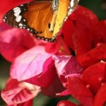 Friday Flowers- Plain Tiger Butterfly at Bouganvilla Flowers