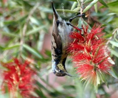 Purple Sunbird on Bottle Brush Flowers, Gurgaon