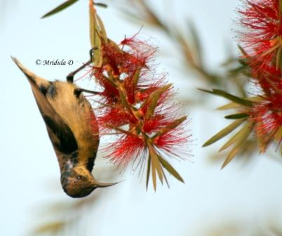Purple Sunbird on Bottle Brush Flowers
