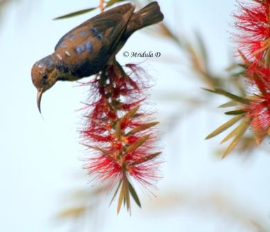 Purple Sunbird sitting on red flowers