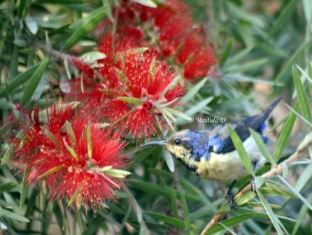 Purple Sunbird and Red Flowers