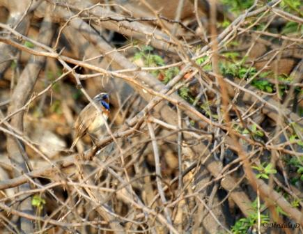 Blue Throat in Bushes