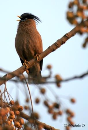 Brahminy Myna or Starling