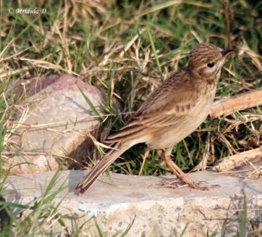 Brown Rock Pipit or Long Billed Pipit