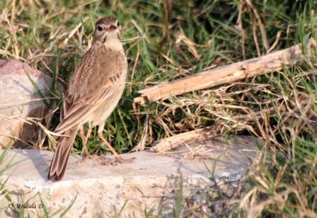 Brown Rock Pipit