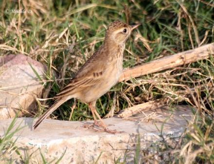 Long Billed Pipit