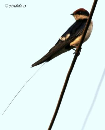 A Wire Tailed Swallow