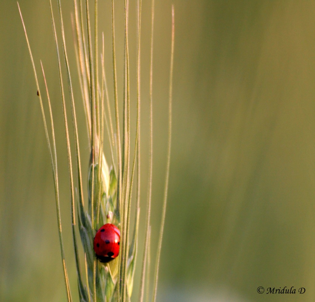Lady Bug on Wheat Stalk