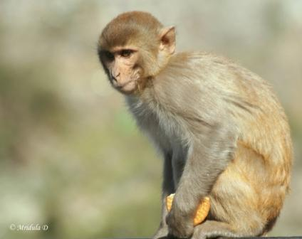 Monkey at Rishikesh