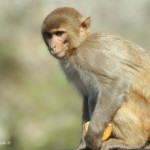 Lazy Sunday Photo- Monkey at Rishikesh