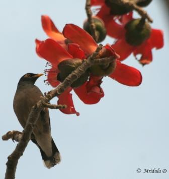 Myna on Red Cotton Flowers