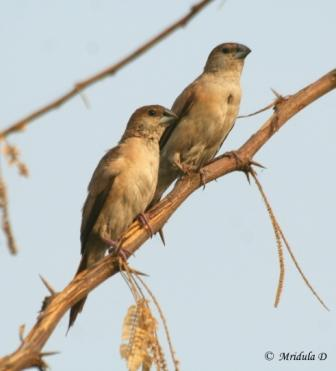 Indian Silverbill Pair