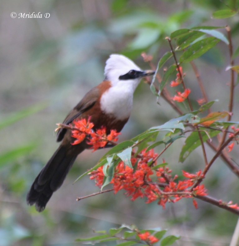White Crested Laughing Thrush at Kaudiala