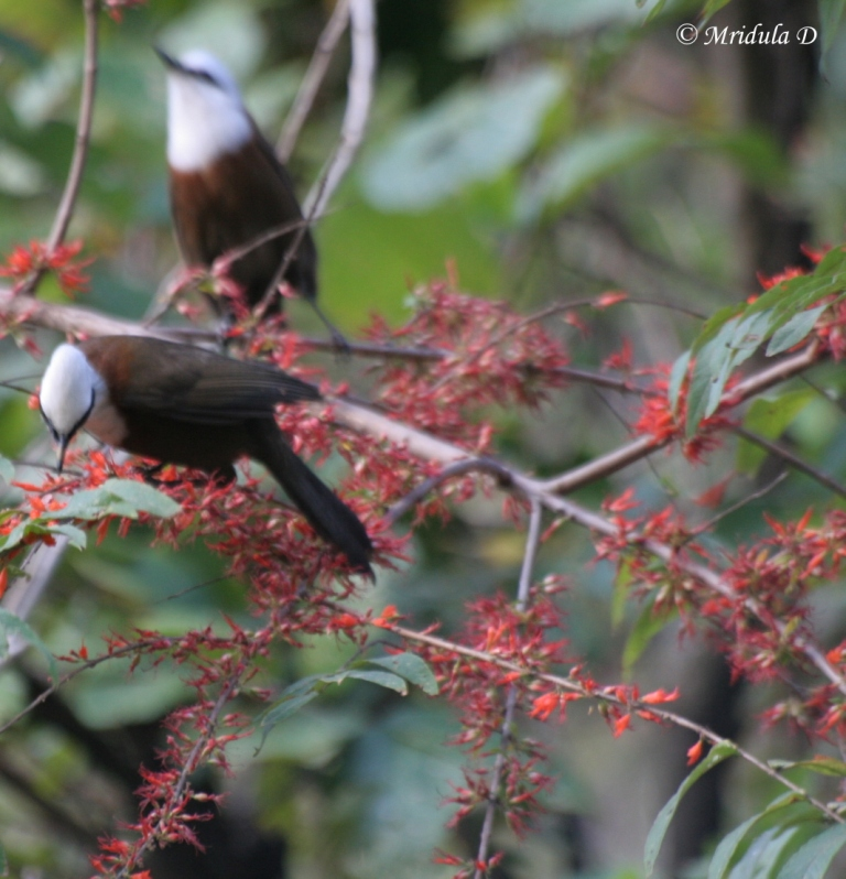 White Crested Laughing Thrush, Pair