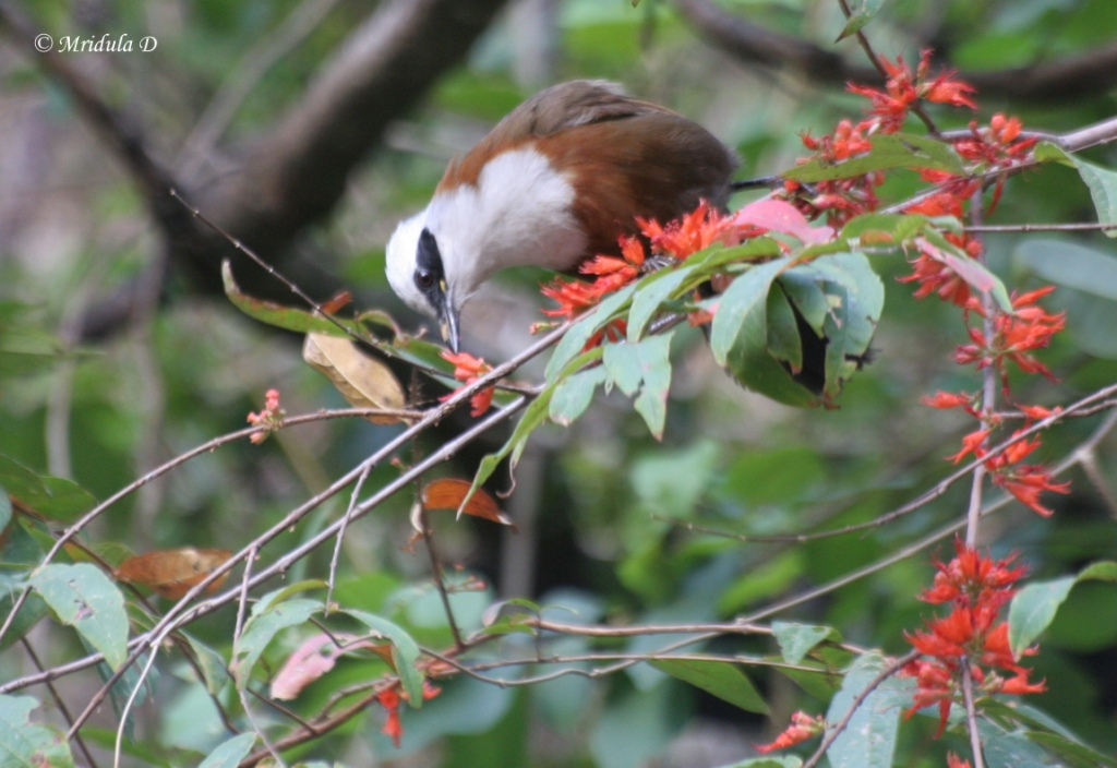White Crested Laughing Thrush and What a Call it has!