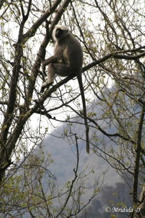 Monkey, High Up on Tree