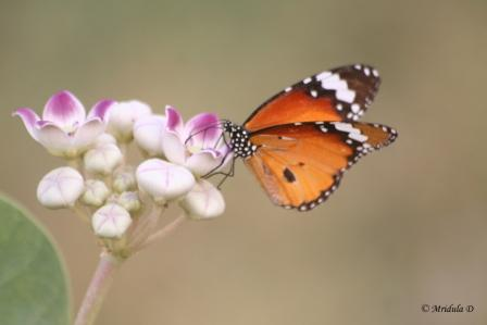 Rubber Bush Flower with a Plain Tiger Butterfly
