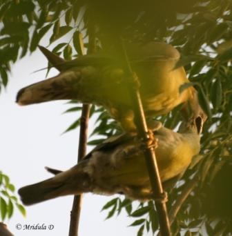 Yellow Footed Green Pigeon, Pair