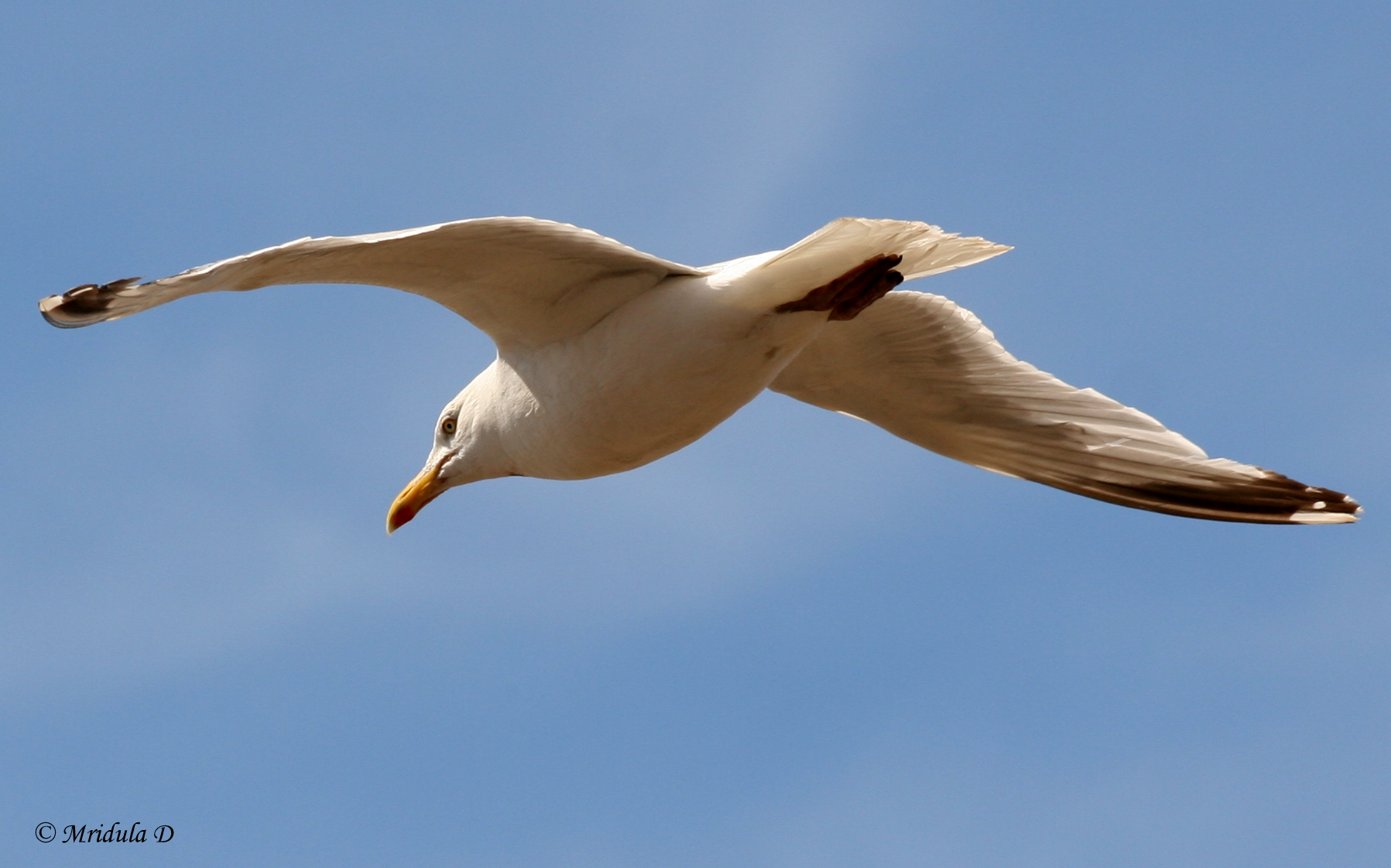 Seagull in Flight, Morecambe, UK