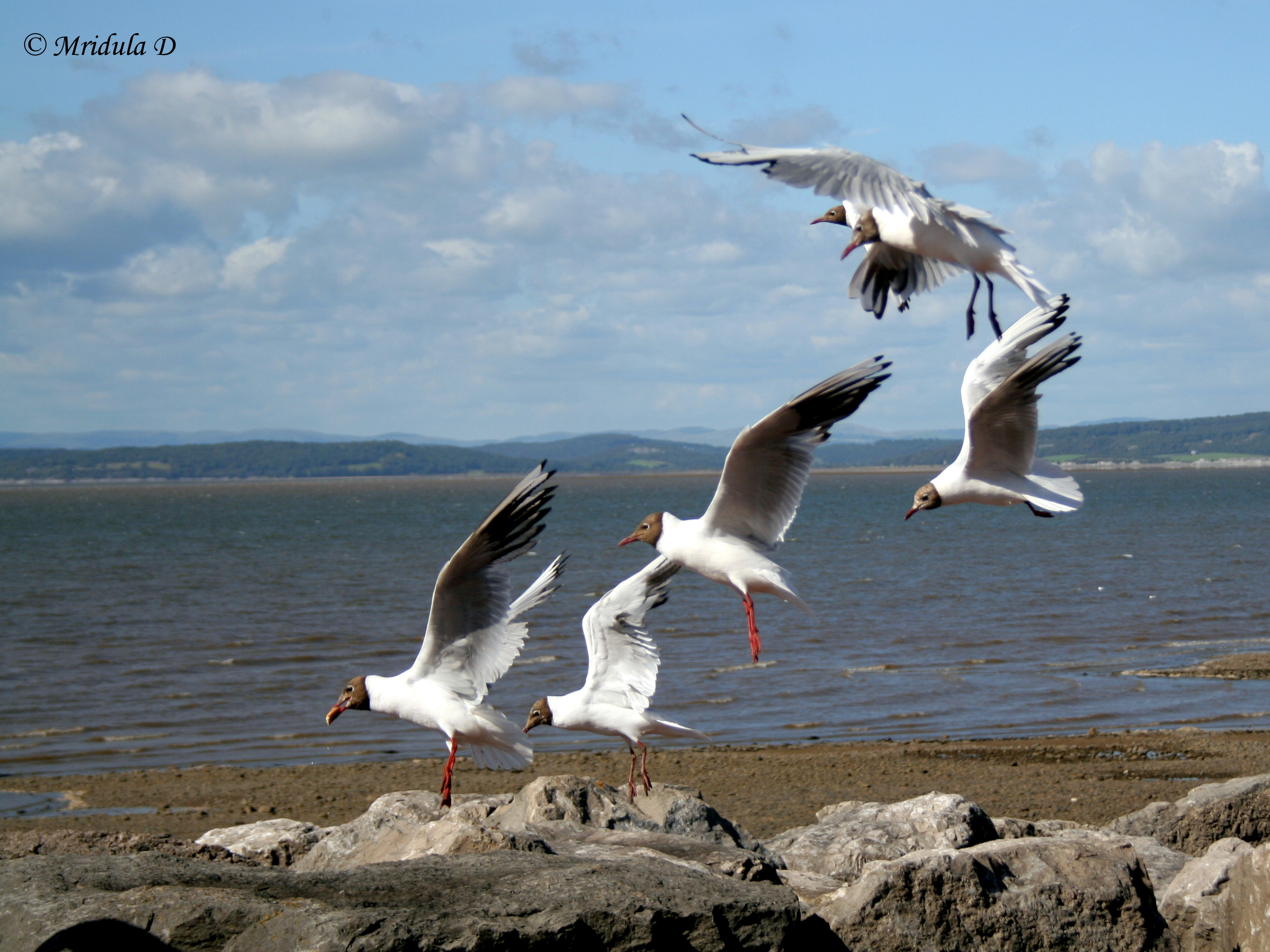 Seagulls at Morecambe, UK