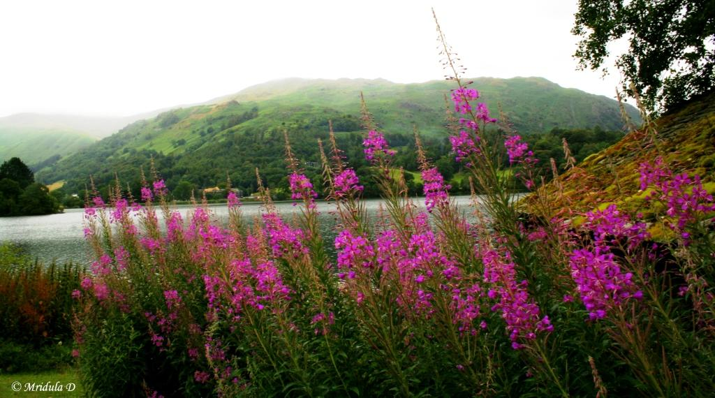 Fireweed Flowers, Grasmere, Lake District, UK
