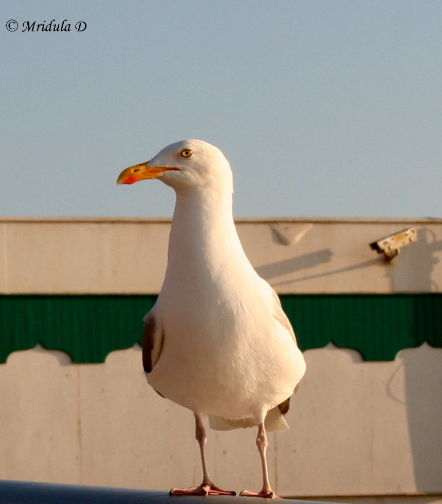 Seagull at Blackpool, UK