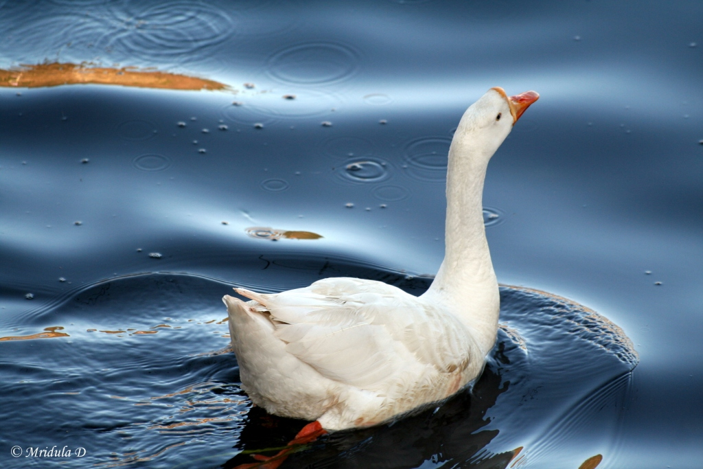 A Duck Goes for a Swim at Bhimtal, Uttarakhand