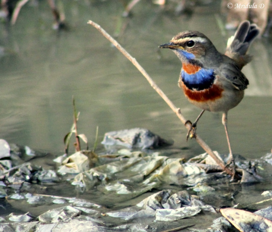 A Blue Throat