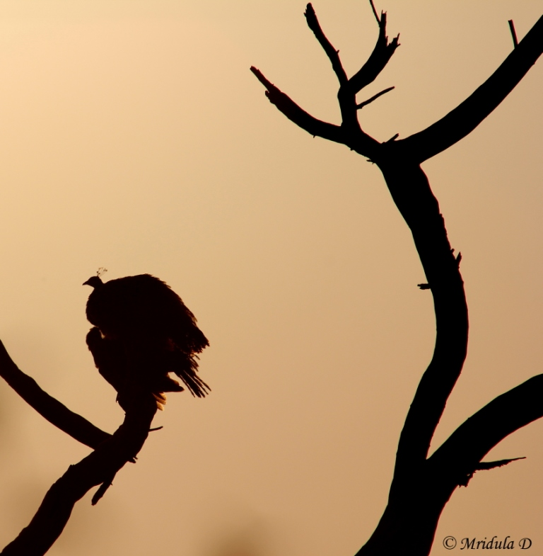 Silhouette of a Peacock, Bharatpur