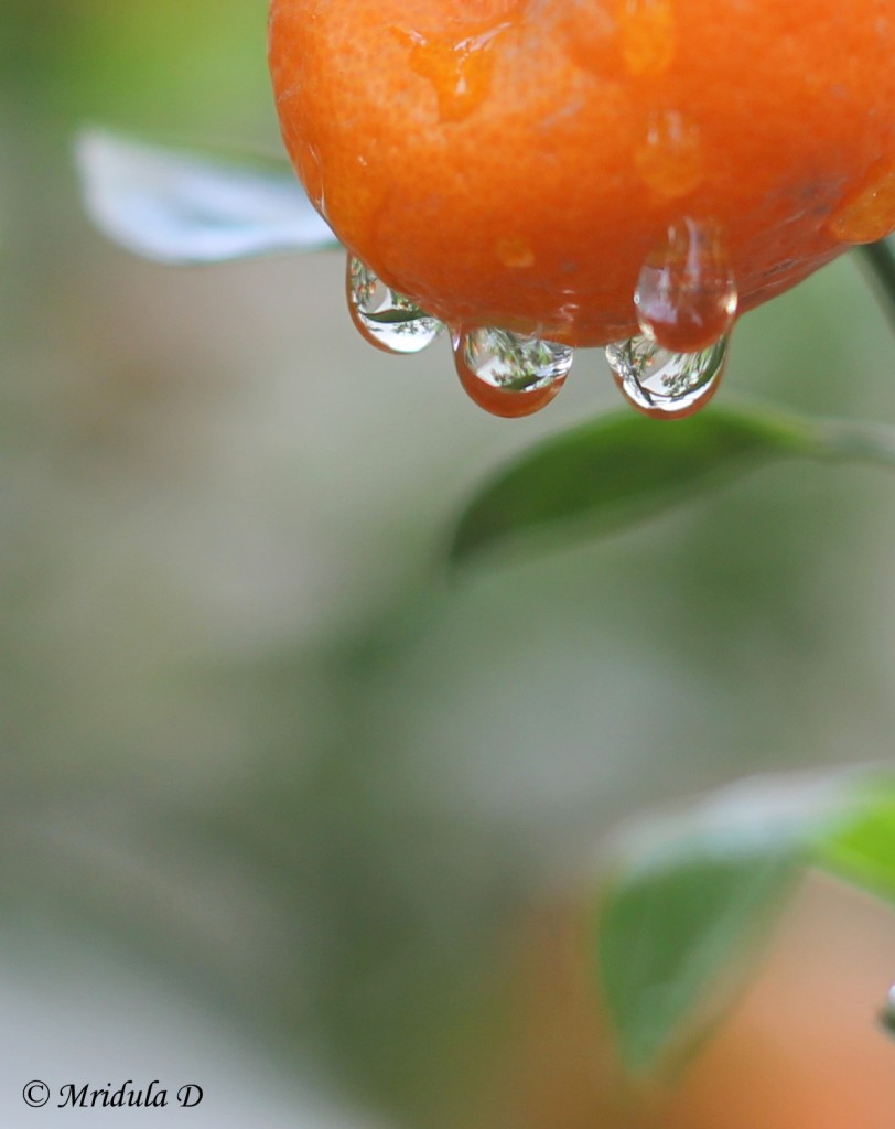 Water Drops on Chinese Oranges