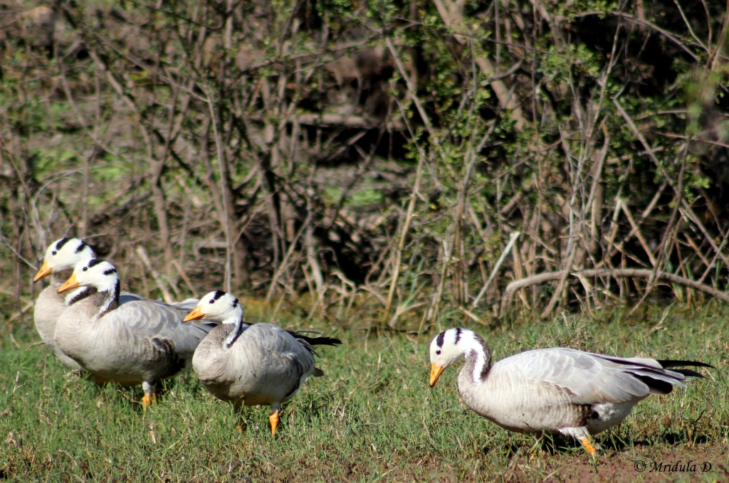 Bar Headed Geese at Bharatpur