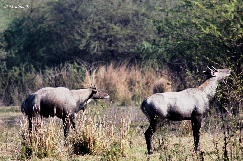 Blue Bull Antelopes- Pair