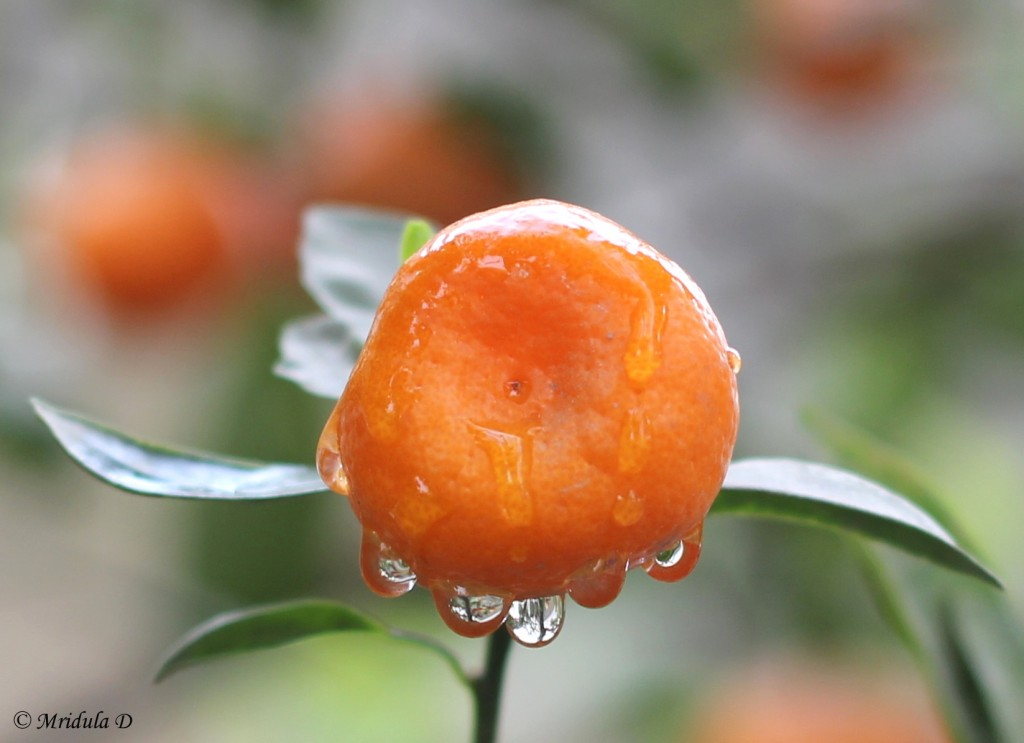 Chinese Orange with 5 droplets!
