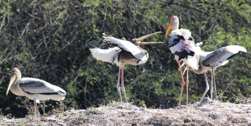 Painted Storks at Bharatpur