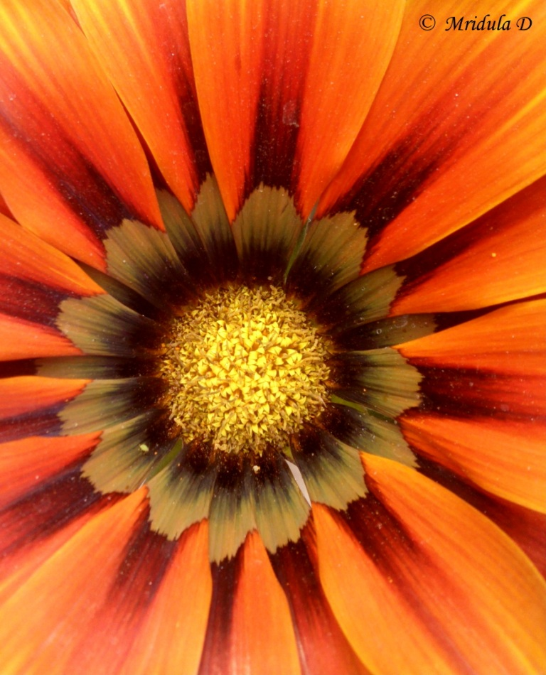 Gazania Close Up