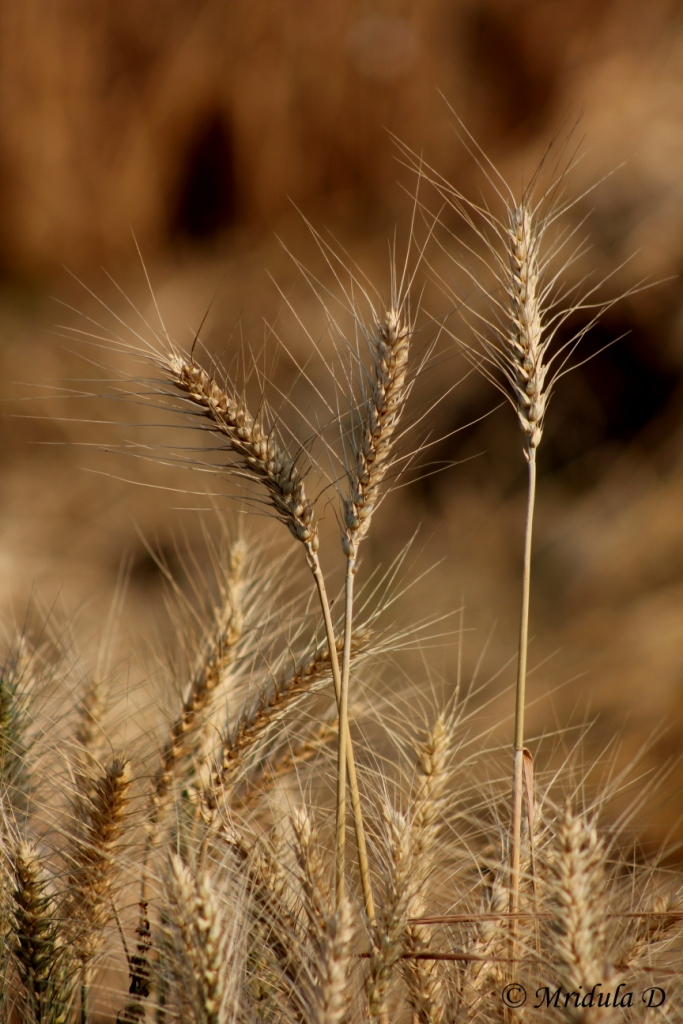 Golden Wheat Stalks